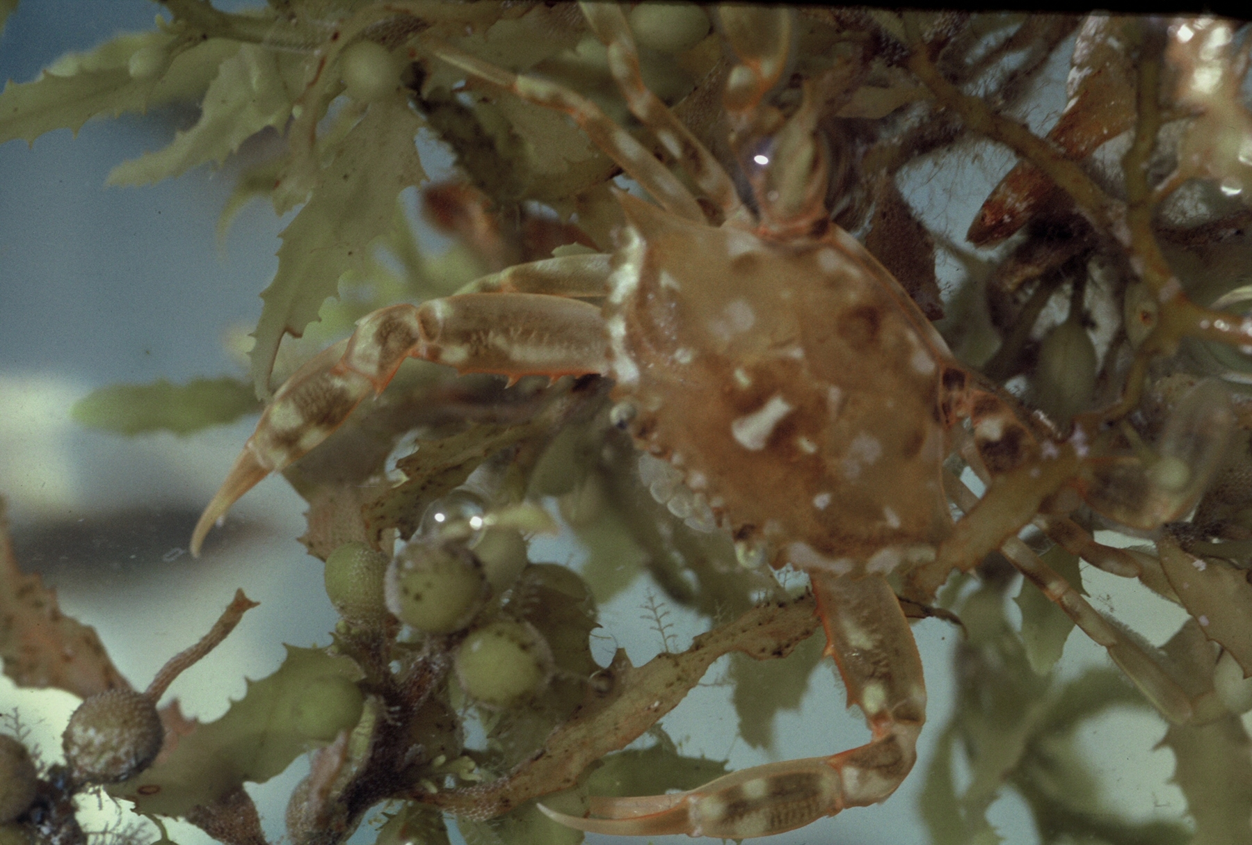 Sargassum-crab_permission-from-David-S.-Lee